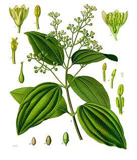 Morphological characteristics of cinnamon tree 1